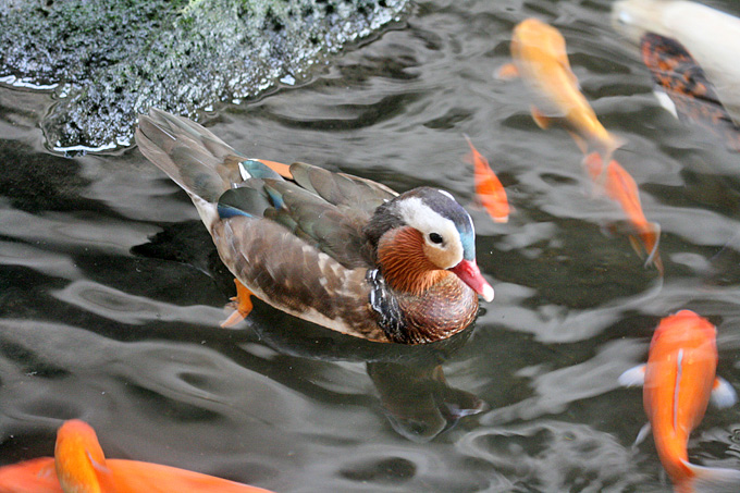 Mandarin Duck: Symbol of Love or of Animal Abuse?
