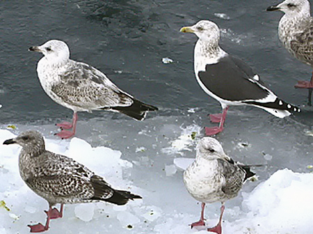 First-cycle hybrid or Slaty-backed Gull photo - Rick Fridell ...