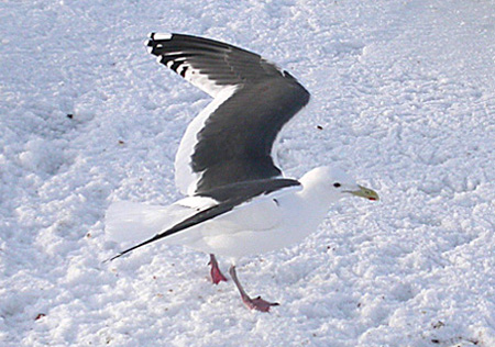 Slaty-backed Gull | Audubon Field Guide
