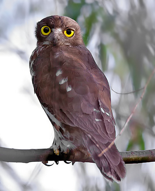 wild animals of brown hawk owl youtube