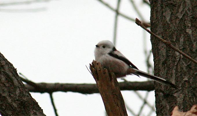 Senice Fam.Paridae Caudatus-Long-Tailed-Tit_MP