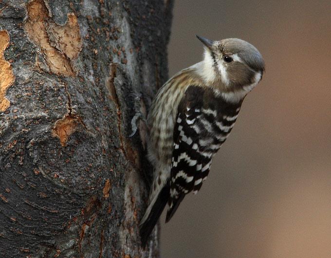 http://www.birdskorea.org/Images/images2008/01/Japanese-Pygmy-Woodpecker_RN.jpg