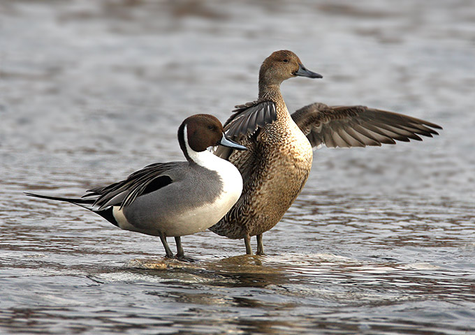 male and female northern pintail ducks cute posters