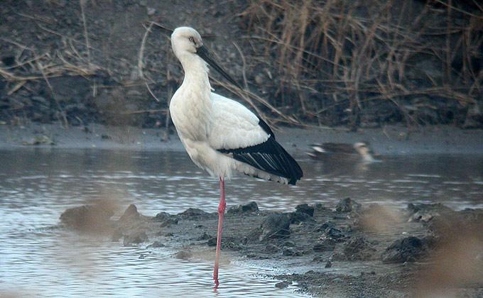 Oriental Stork Ciconia