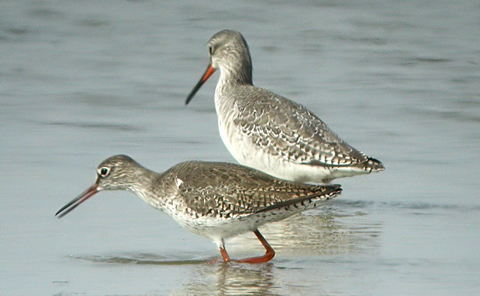 Spotted Redshanks Print by