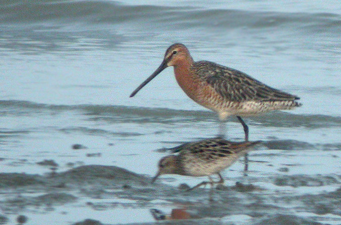 Asian Dowitcher Limnodromus