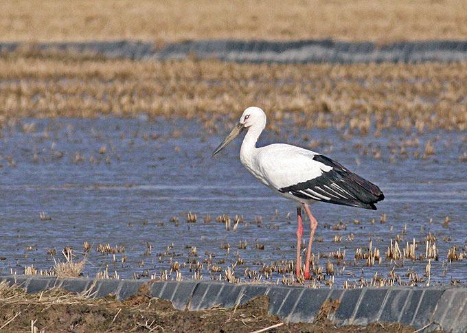 ET1013 Oriental Storks 1