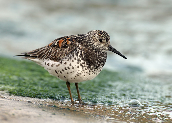 Bird-watchers flock to Breydon Water to see Great Knot