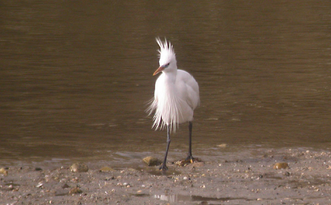 Chinese Egret, South Korea