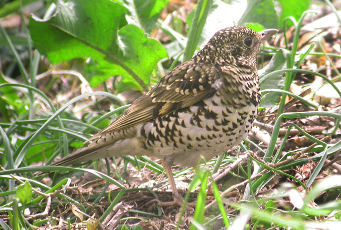 white's thrush, South Korea