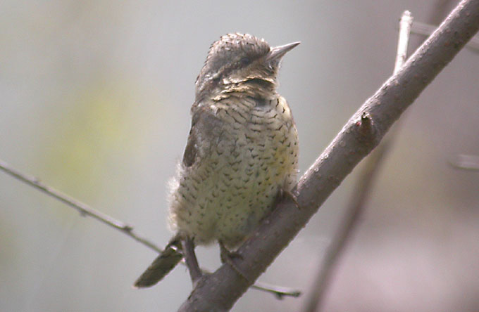 Wryneck, South Korea