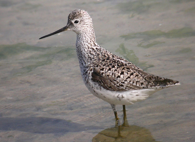 marsh sandpiper, South Korea