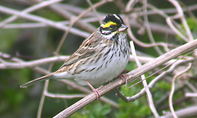 yellow-browed bunting, South Korea